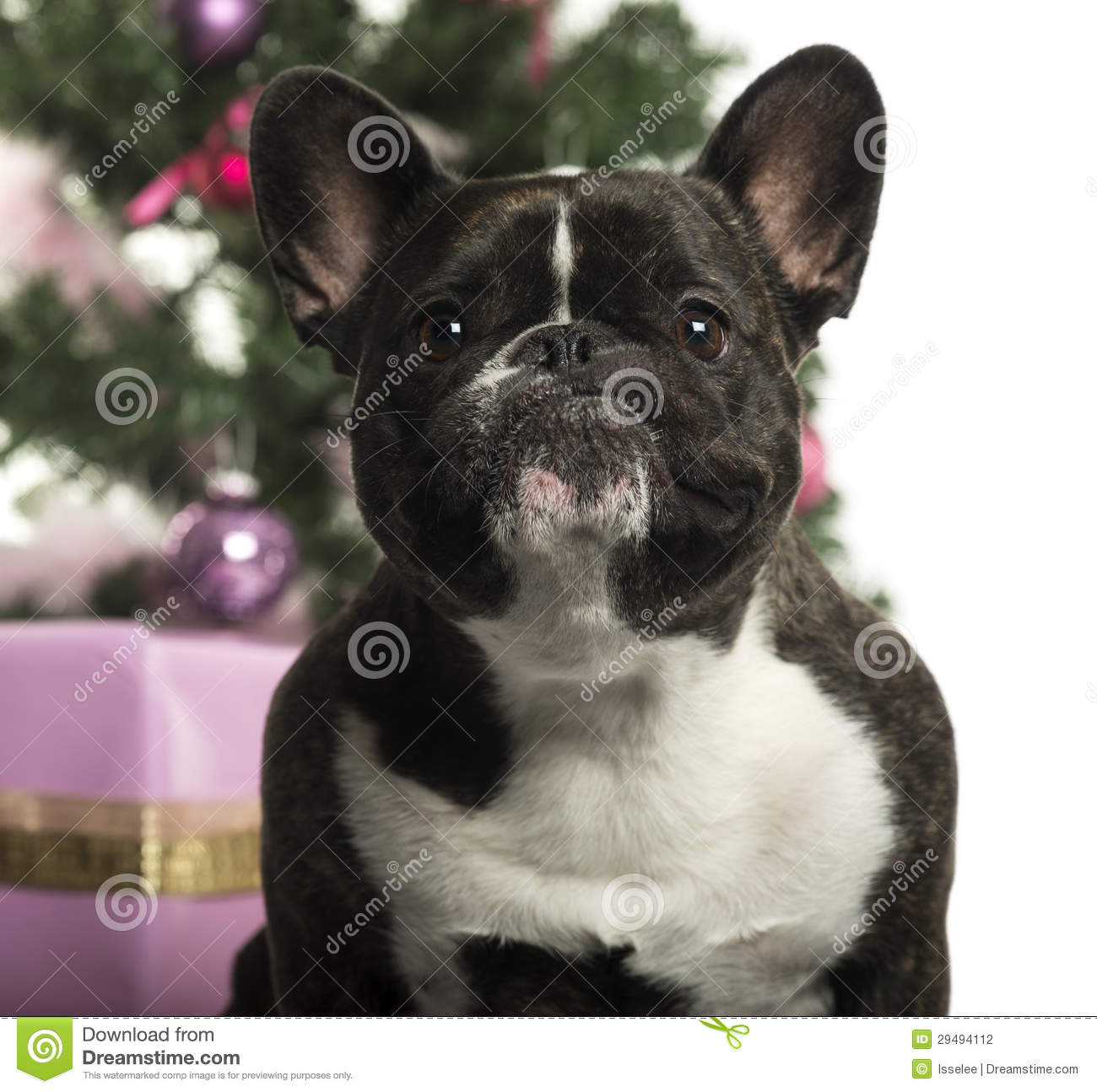 bulldog decorations french bulldog in front of christmas decorations stock photography image 29494112 1855
