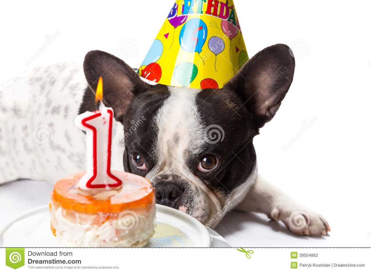 French Bulldog On His First Birthday Stock Photo Image