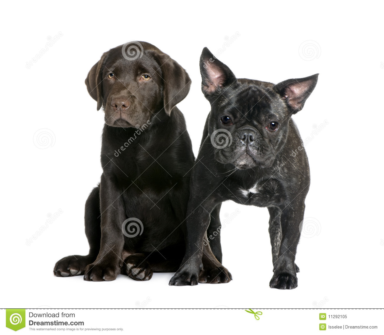french bulldog and labrador puppy stock image image