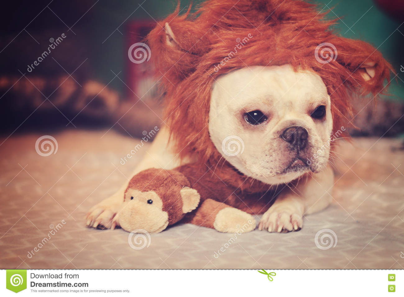 French Bulldog In A Lion Costume Stock Image - Image of cute, bulldog: 79306007