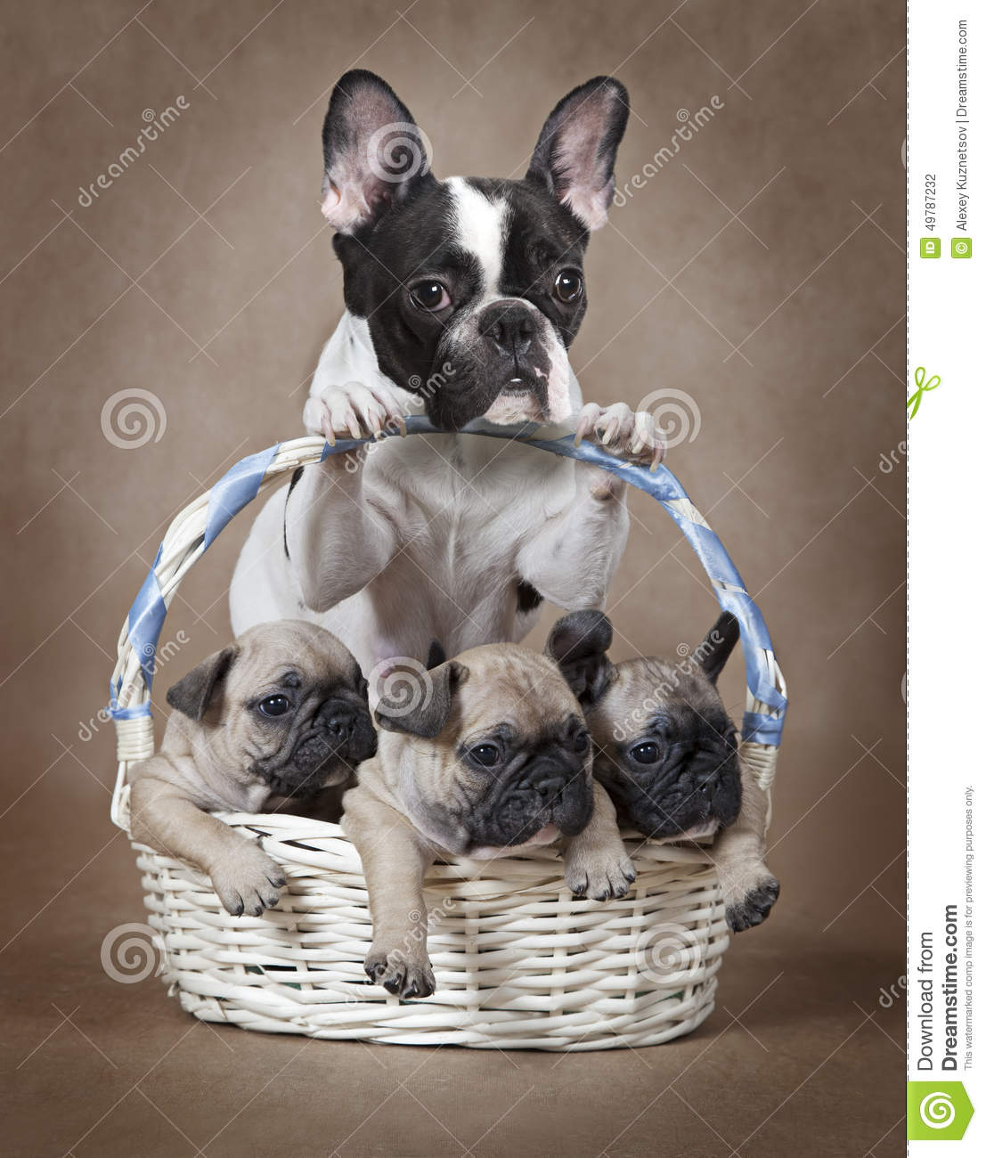 french bulldog mommy with puppies in the basket stock photo