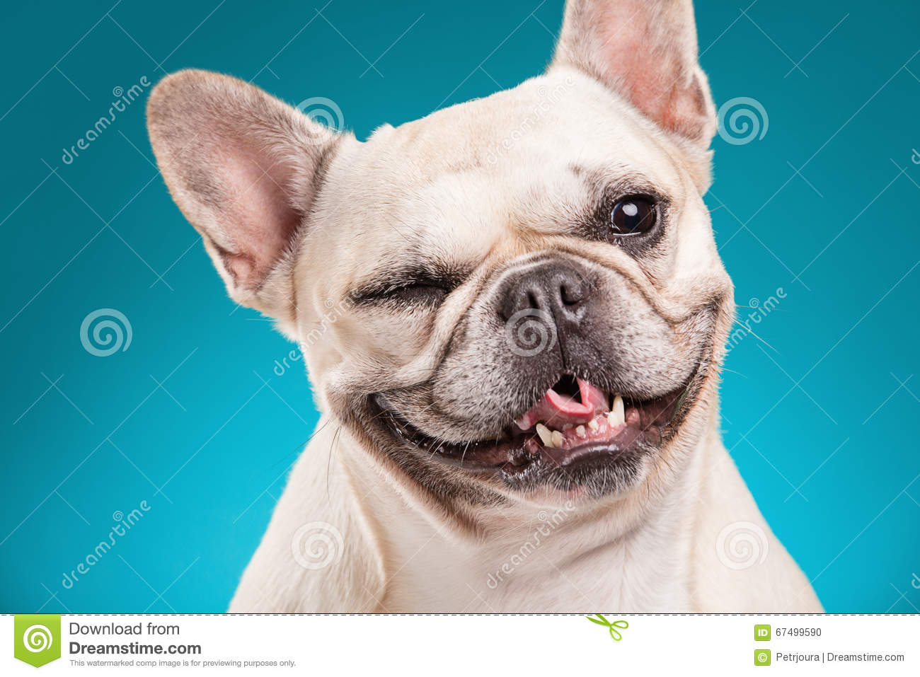 French Bulldog Over Blue Background Royalty-Free Stock