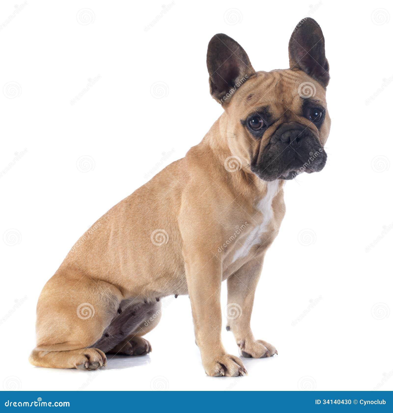 French Bulldog Portrait By Reddogtattoo | Pomsky Puppies Gallery