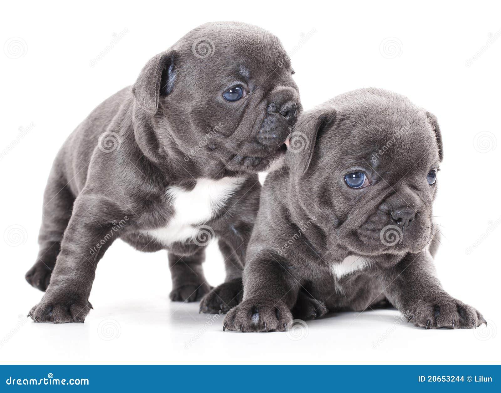 French Bulldog Puppy Stock Photo Image Of Animal Doggy 20653244