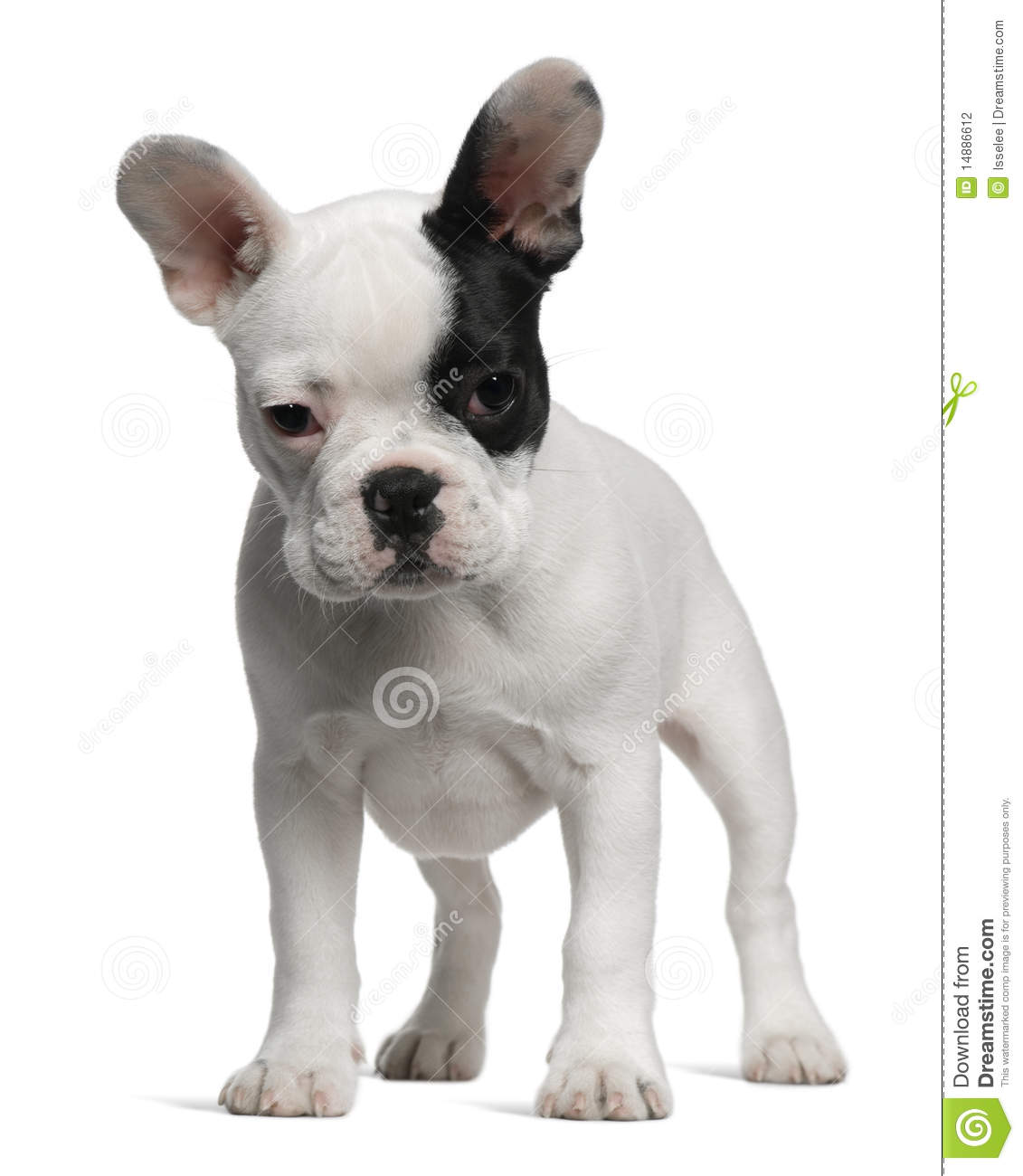 french bulldog puppy 3 months old standing stock photo
