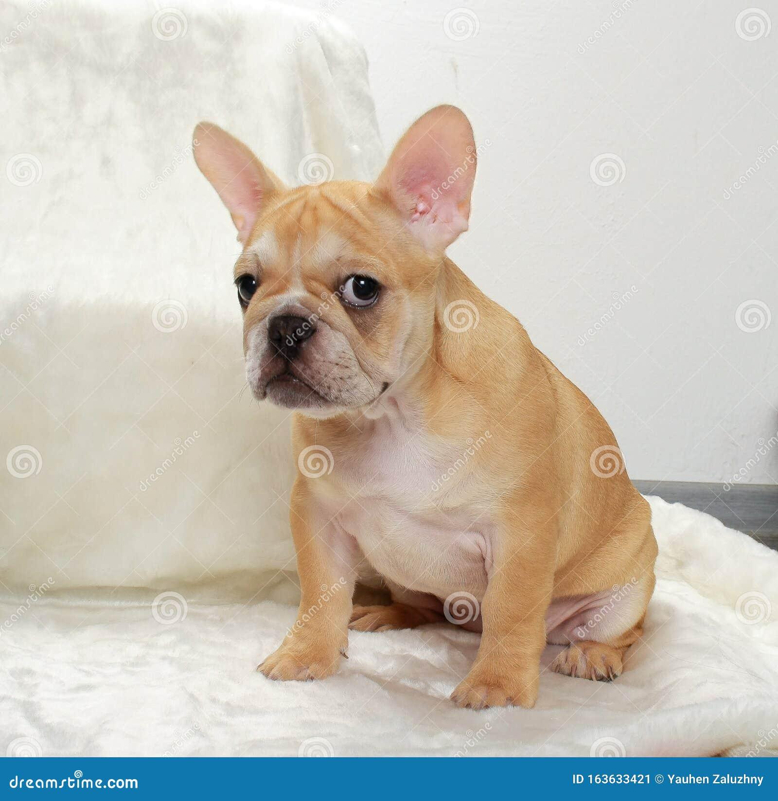 French Bulldog Puppy Dog Stock Image Image Of Bulldog 163633421