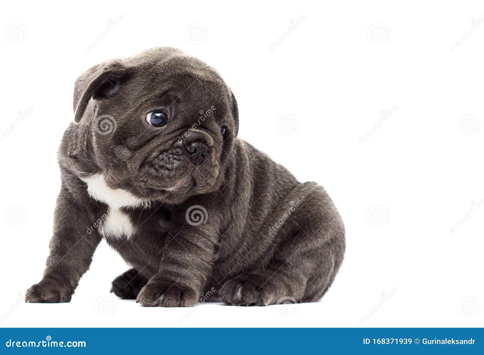 French Bulldog Puppy Looks Sideways Stock Image Image Of Frenchie Pedigree 168371939