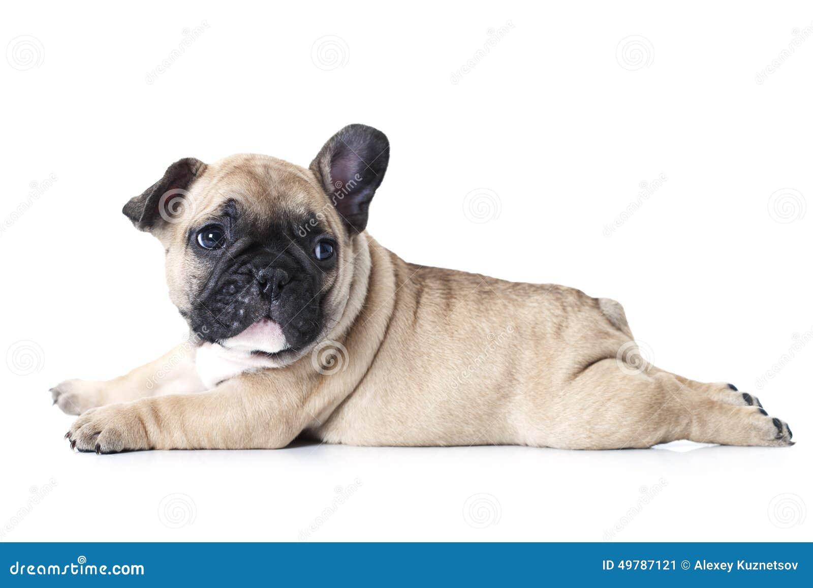 French Bulldog Puppy Lying On White Background Stock Image