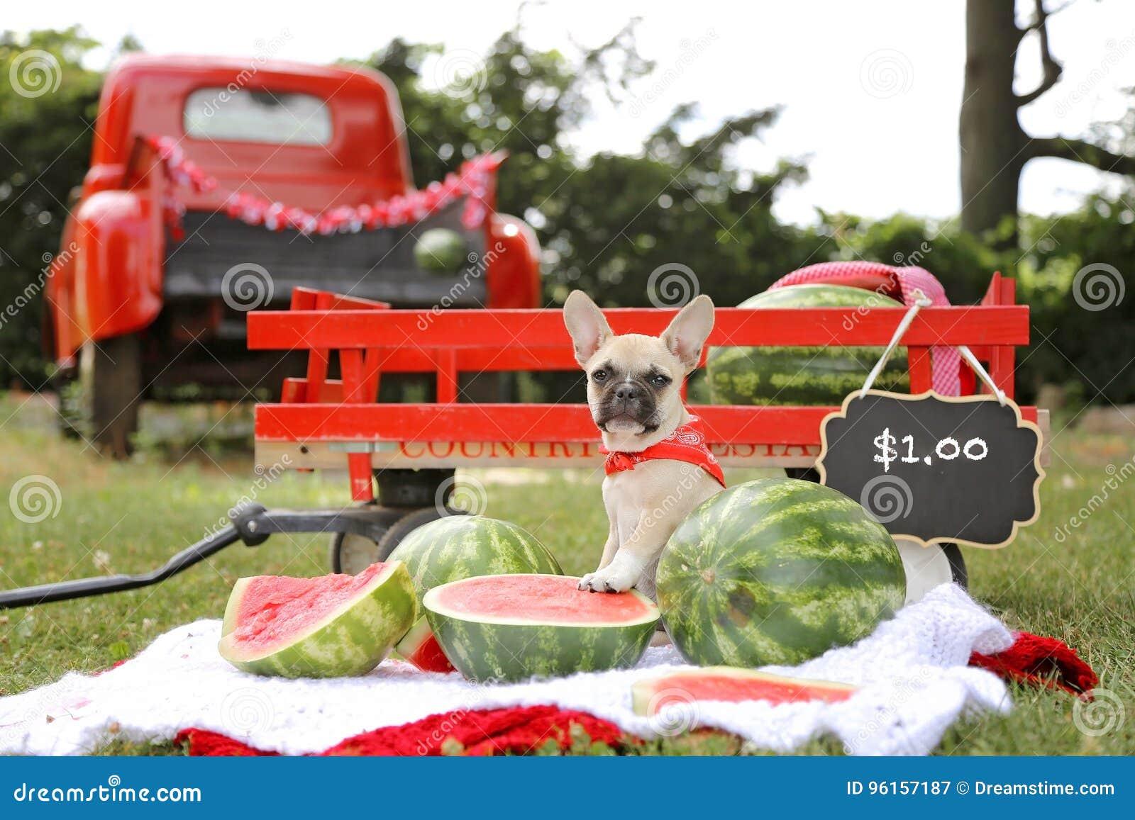 French bulldog puppy selling watermelon