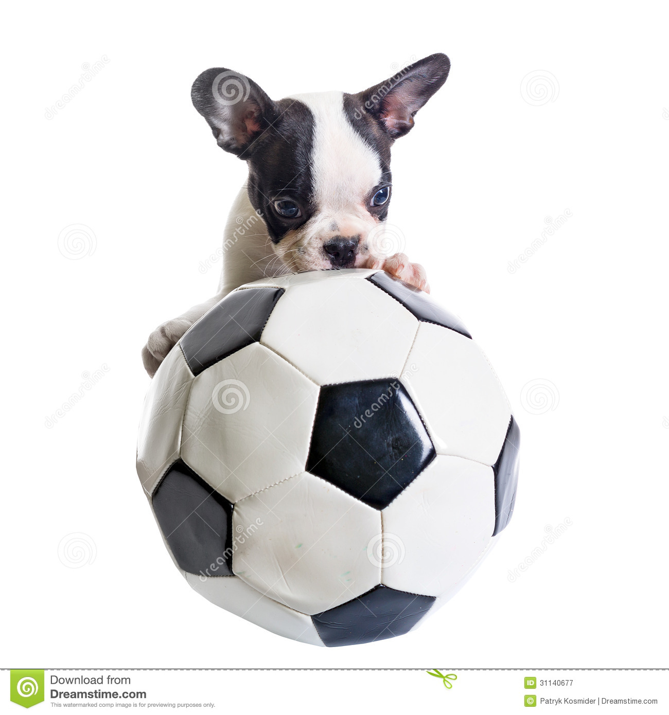 French Bulldog Puppy With Soccer Ball Royalty Free Stock