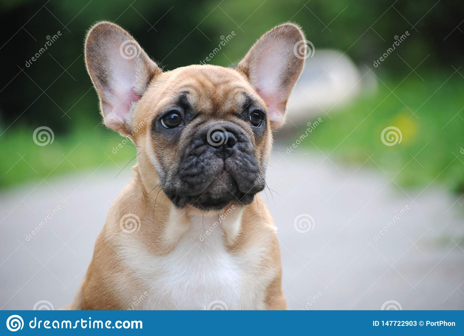 French Bulldog puppy on a walk.