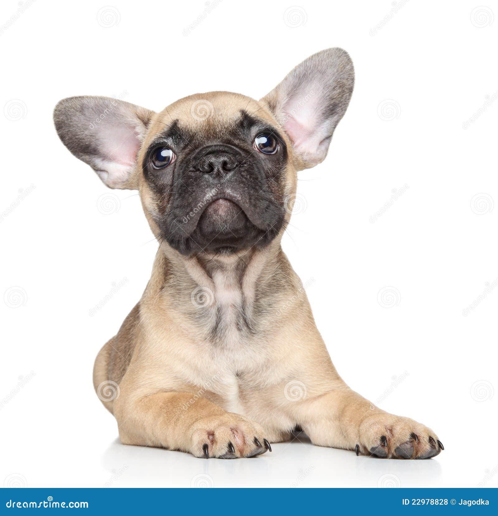 free french bulldog puppy