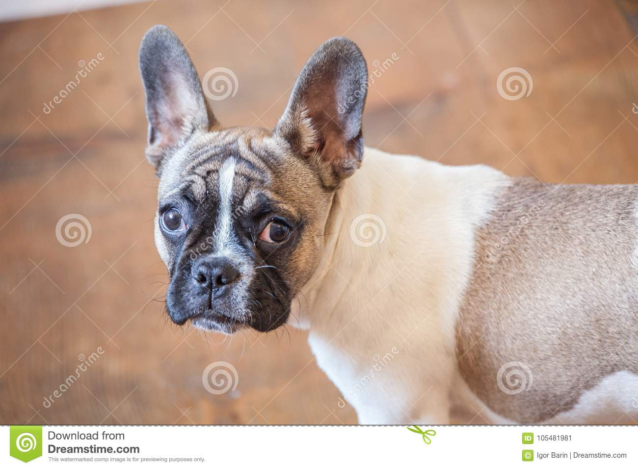 French Bulldog Puppy White Brown Curious Stock Image Image Of Building Little 105481981
