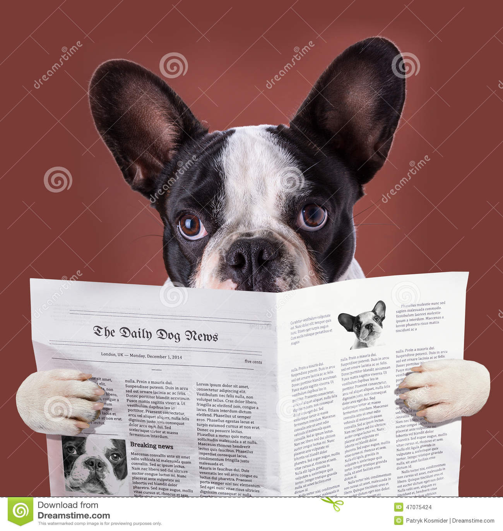 French Bulldog Reading Newspaper Stock Photo Image 47075424