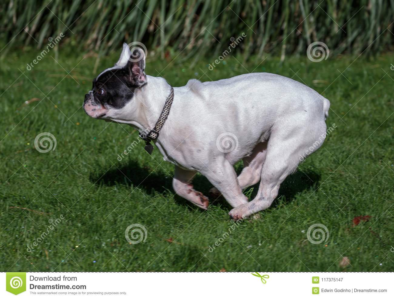 A French Bulldog Running In The Park Stock Image Image Of France Grass 117375147