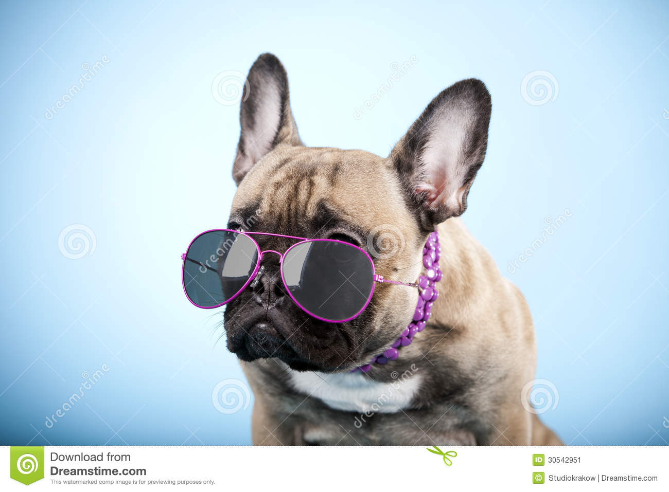french bulldog with sunglasses stock image