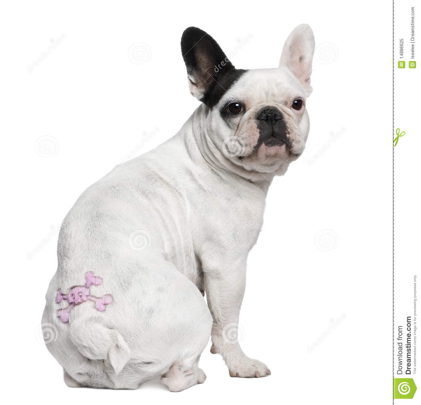 French Bulldog With Tattoo Sitting Royalty Free Stock