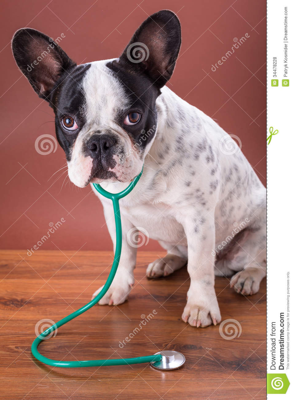 French Bulldog Wearing A Stethoscope Royalty Free Stock