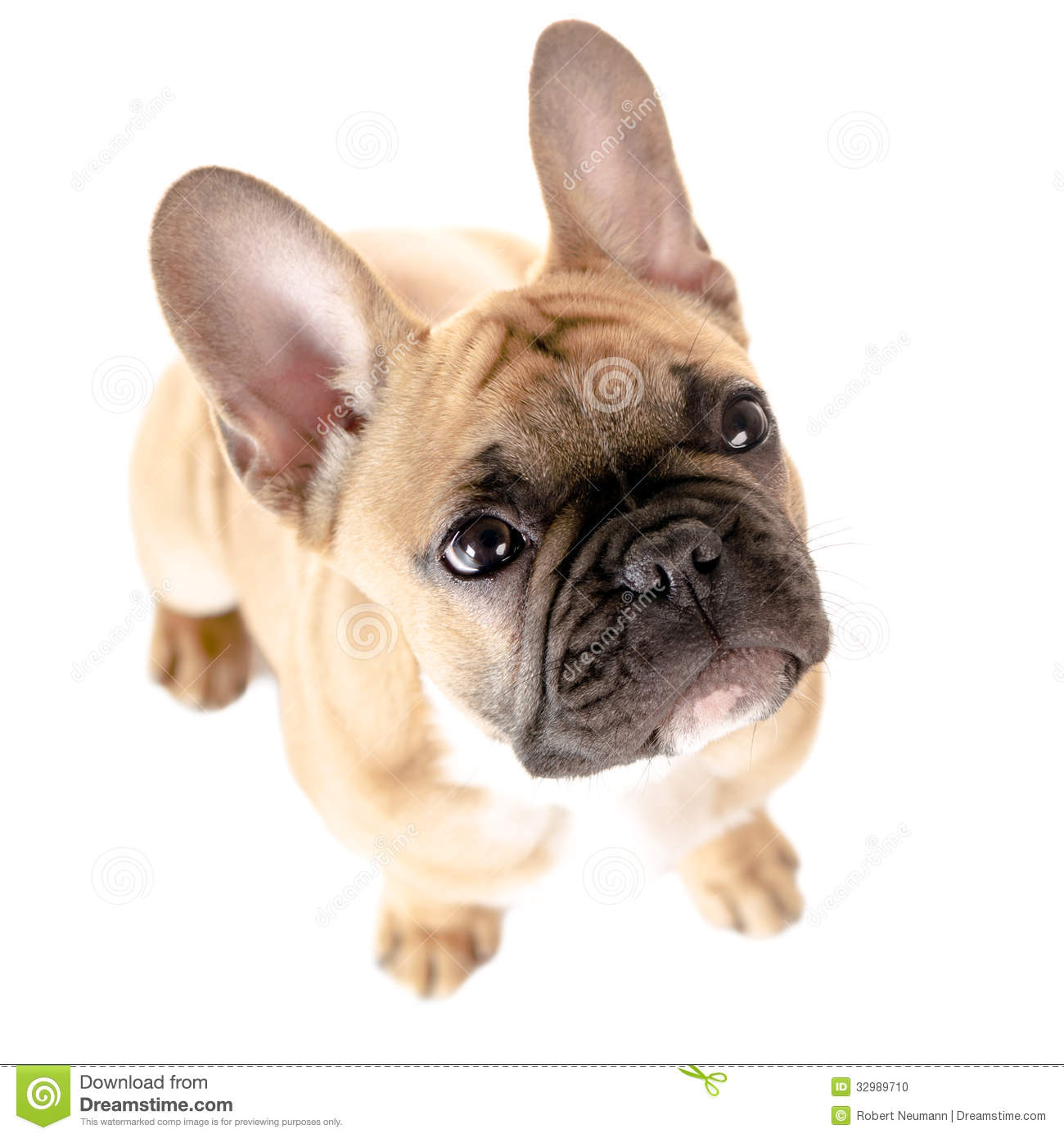 French Bulldog Brown And White