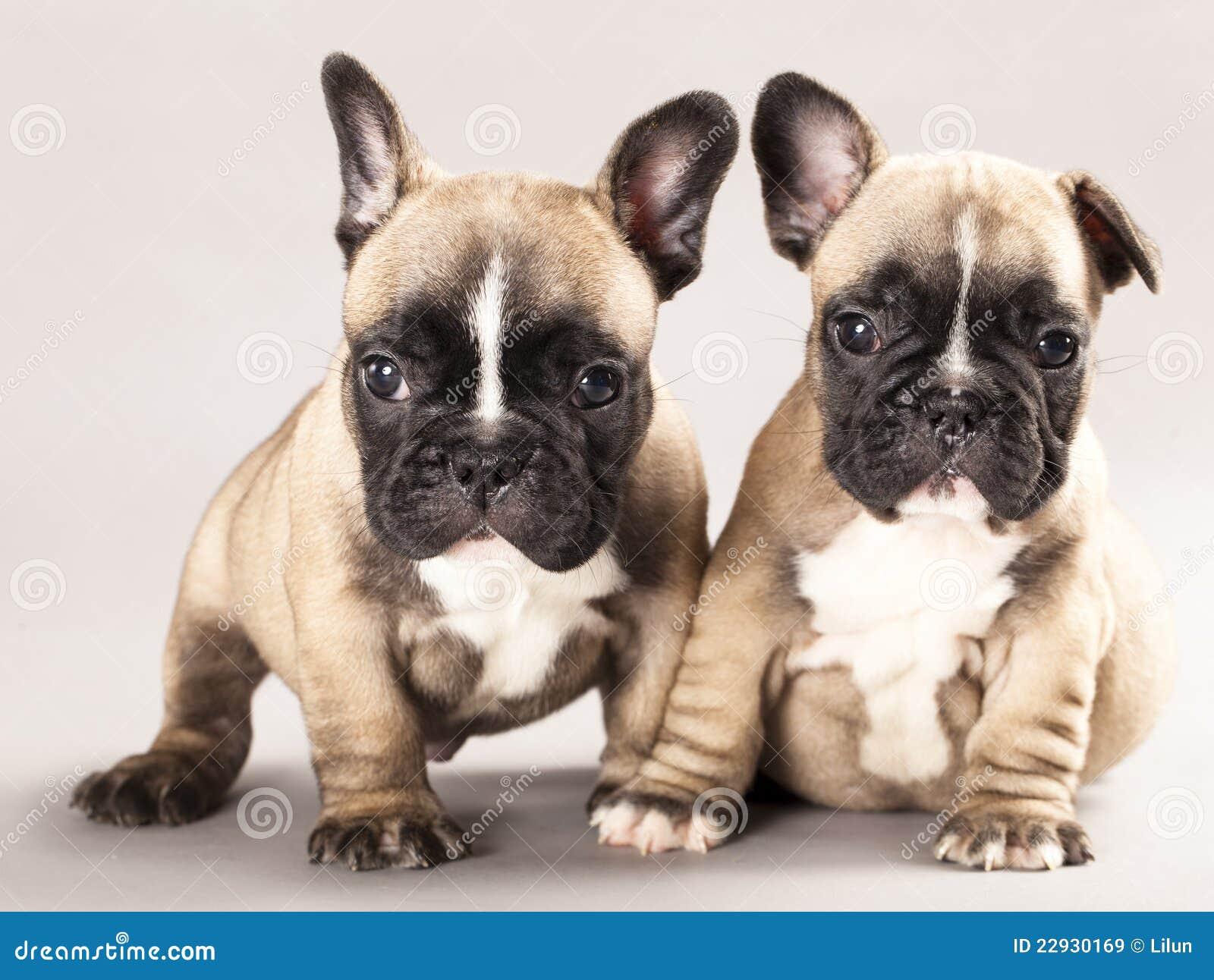 French Bulldogs Royalt...