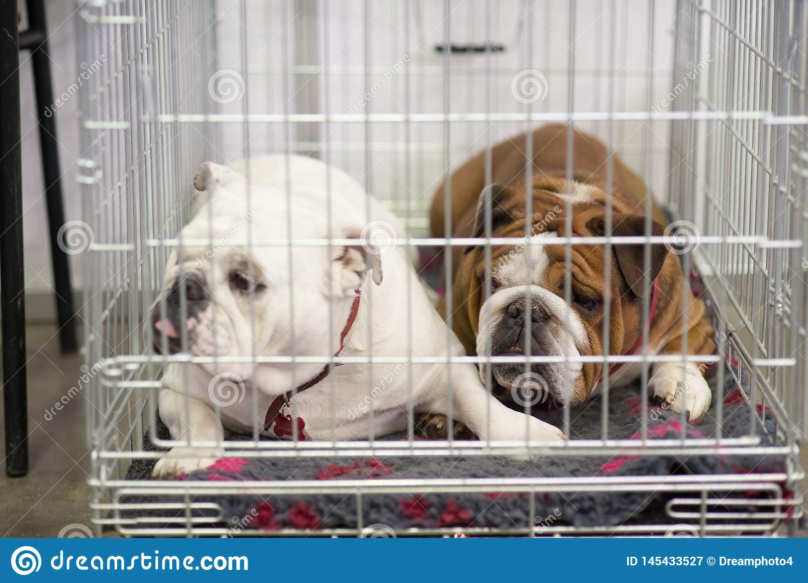 French Bulldogs in the cage