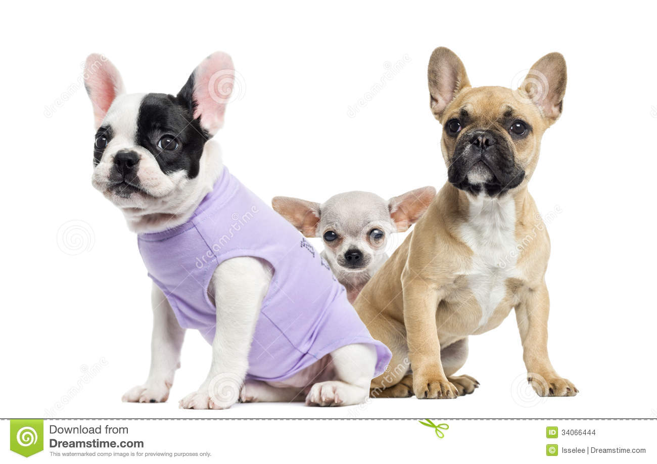 French Bulldogs And Ch...