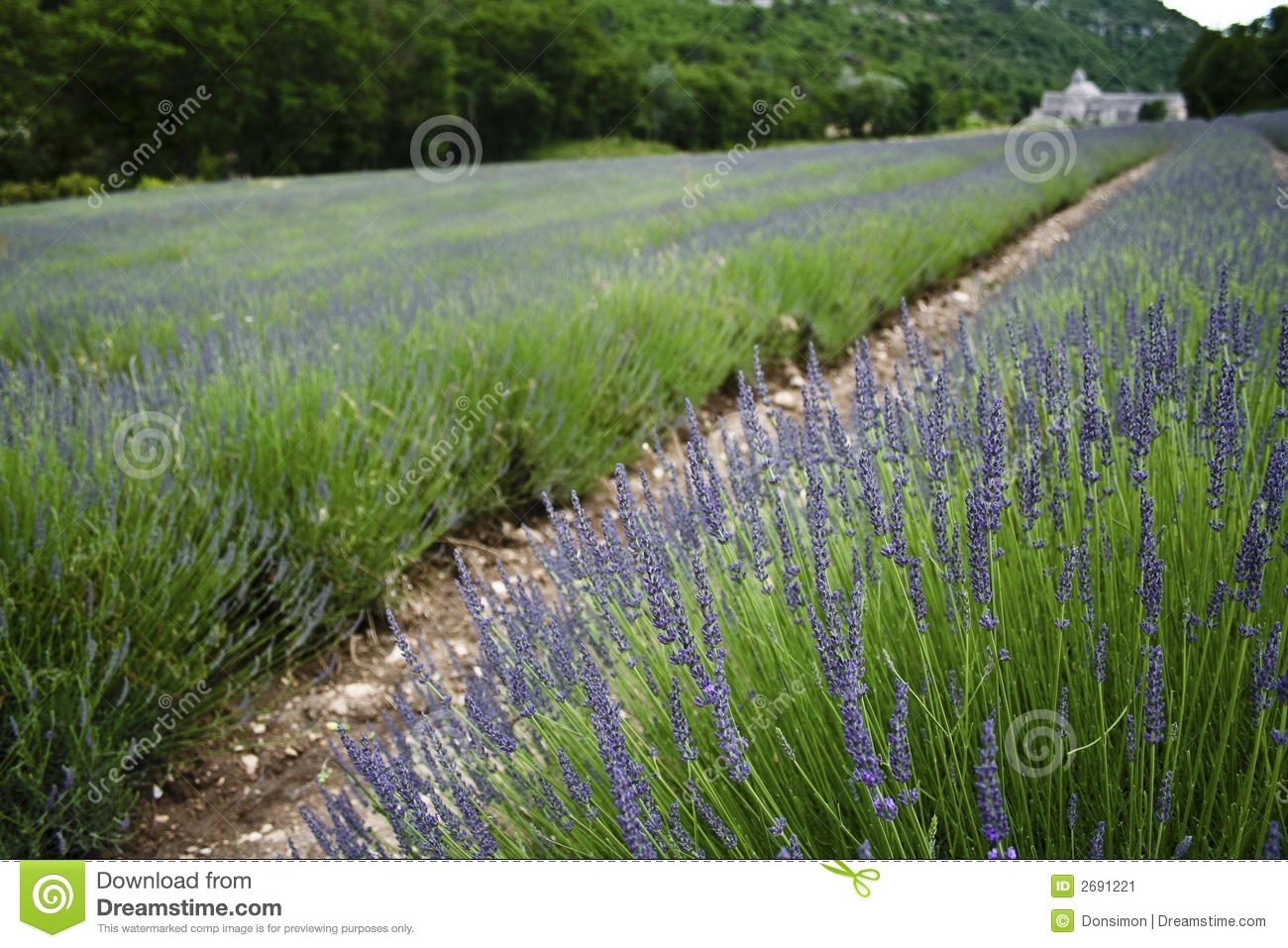 french lavender fields provence france - French Lavender