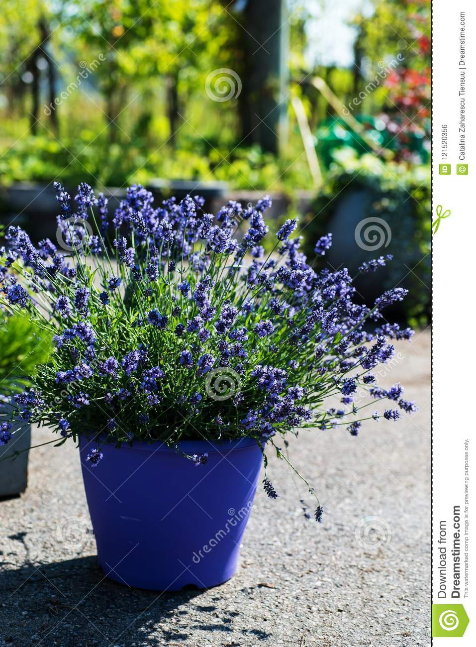 French lavender plant
