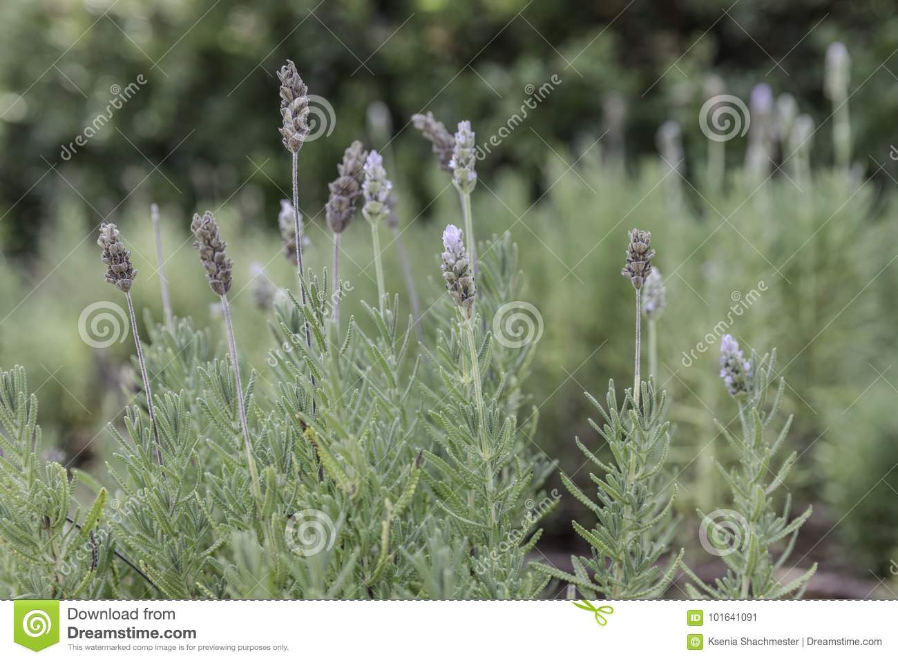 French lavender plant with flowers
