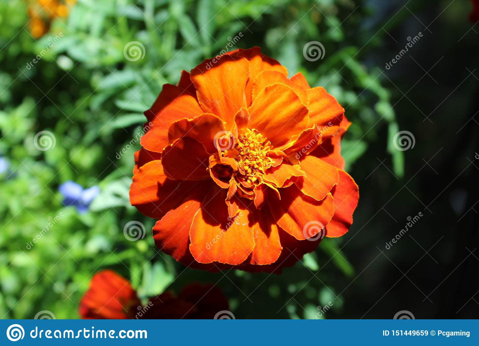 French marigold clse up shaded
