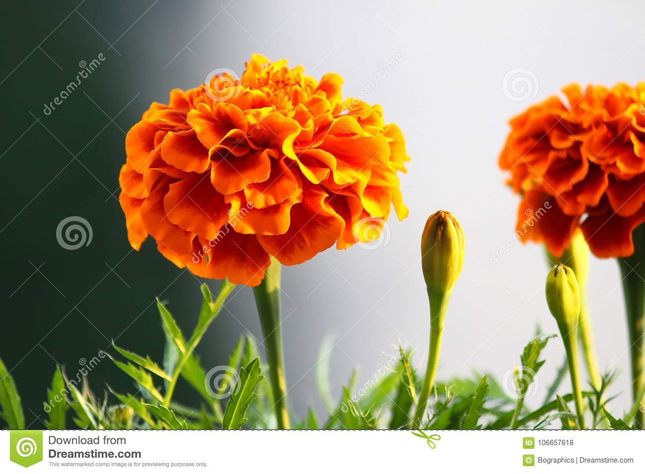 French Marigold flower in foreground