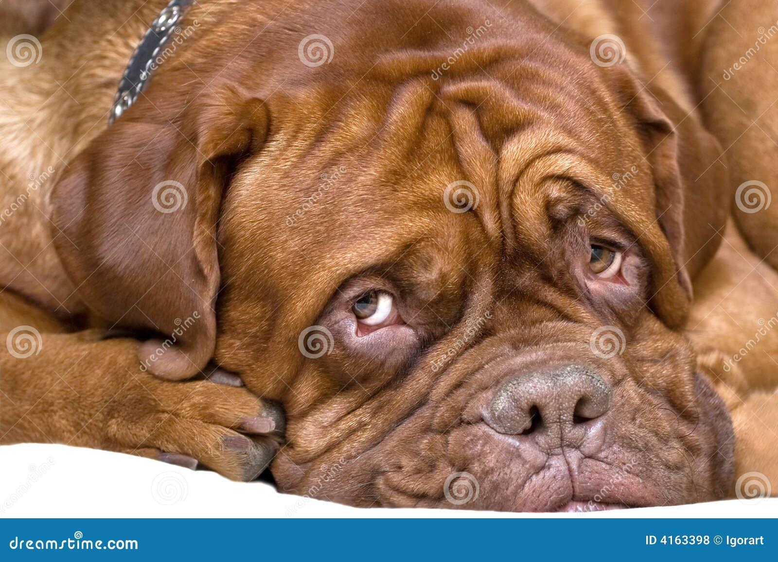 French Mastiff Royalty Free Stock Photos - Image: 4163398