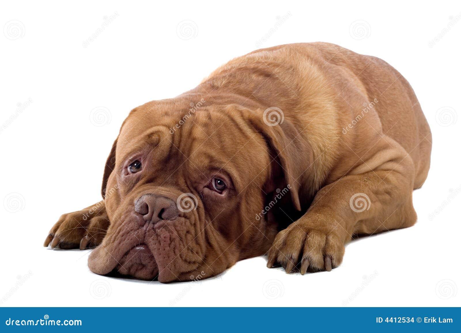 French Mastiff Dog Sto...