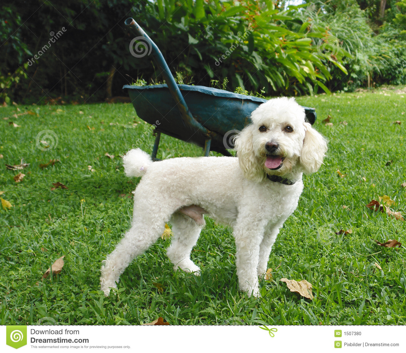 Pure breed white french poodle standing in front of a wheel barrel.