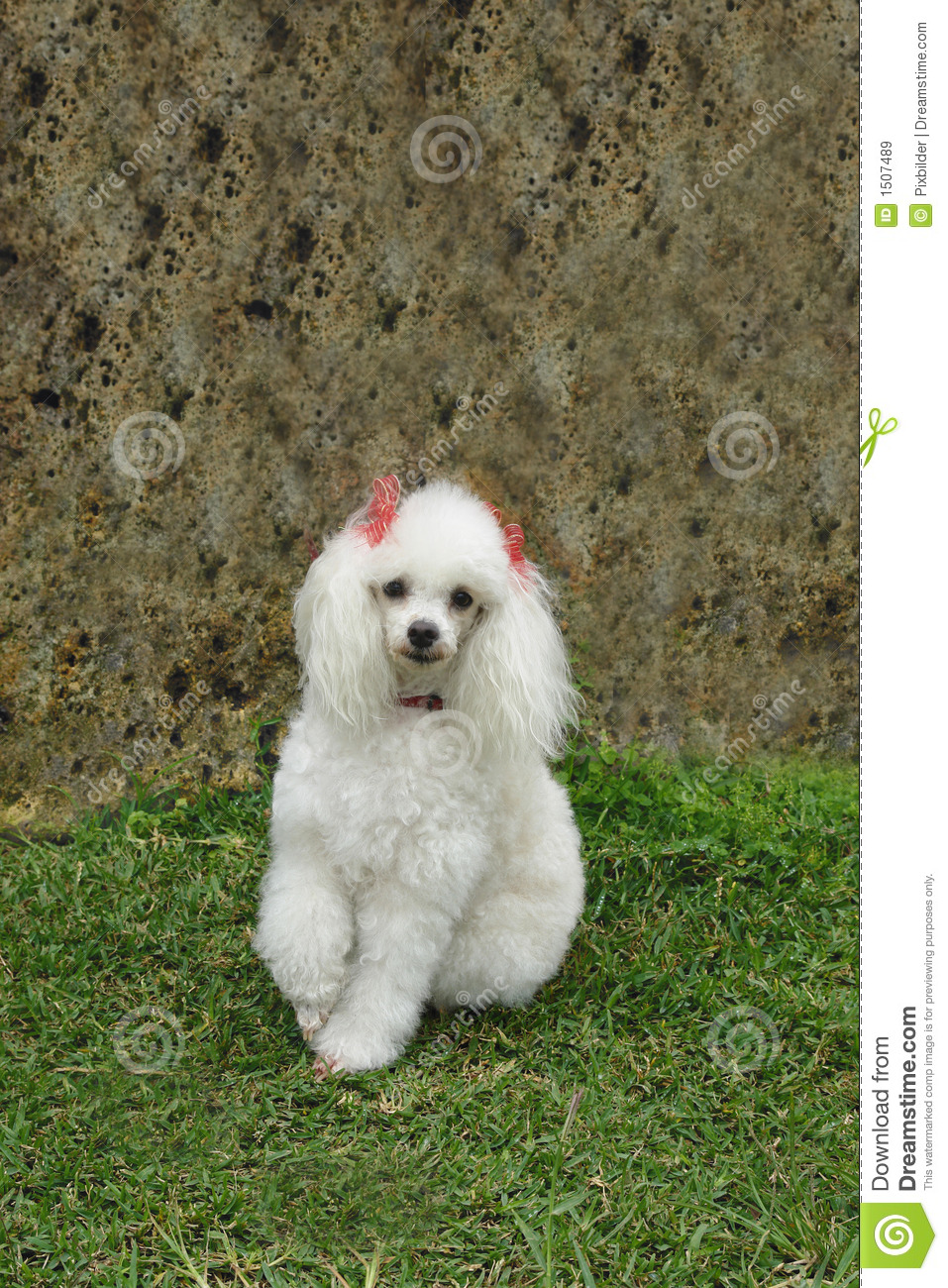 french poodle 7 royalty free stock images