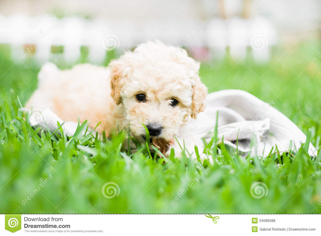 French Poodle Puppy Royalty Free Stock Photos - Image: 34586088
