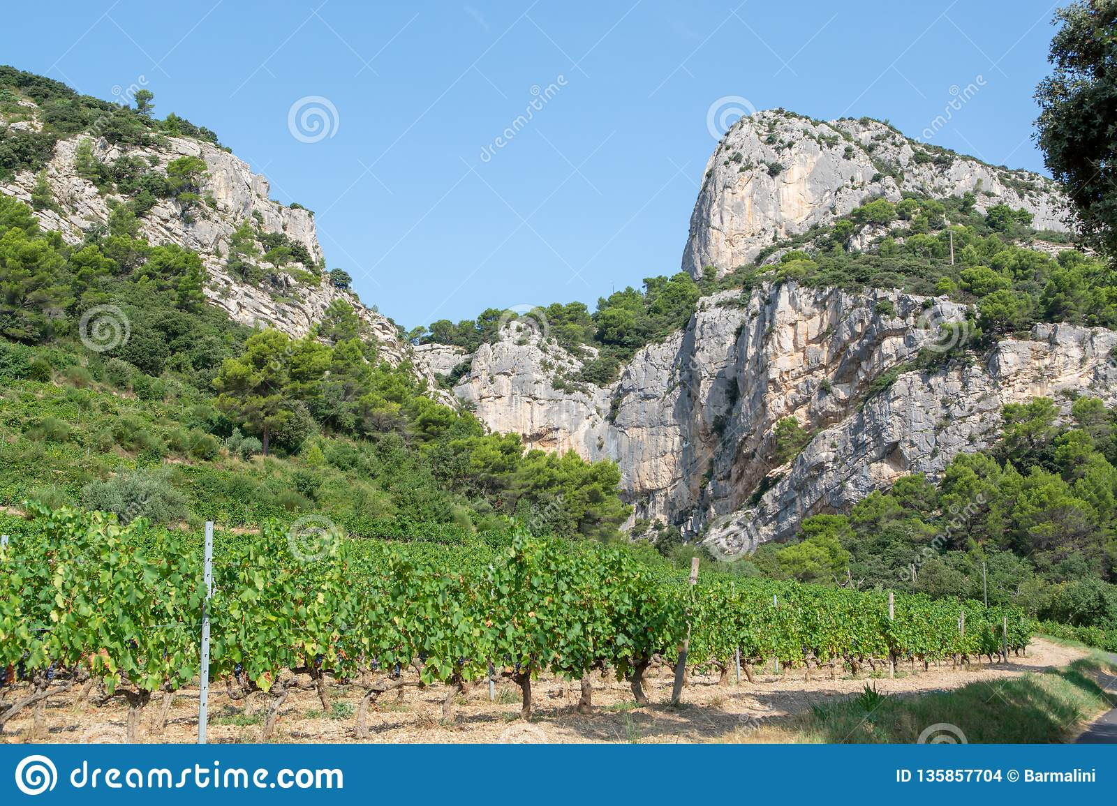 French red AOC wine grapes plant, new harvest of wine grape in France, Vaucluse, Gigondas domain or chateau vineyard Dentelles de