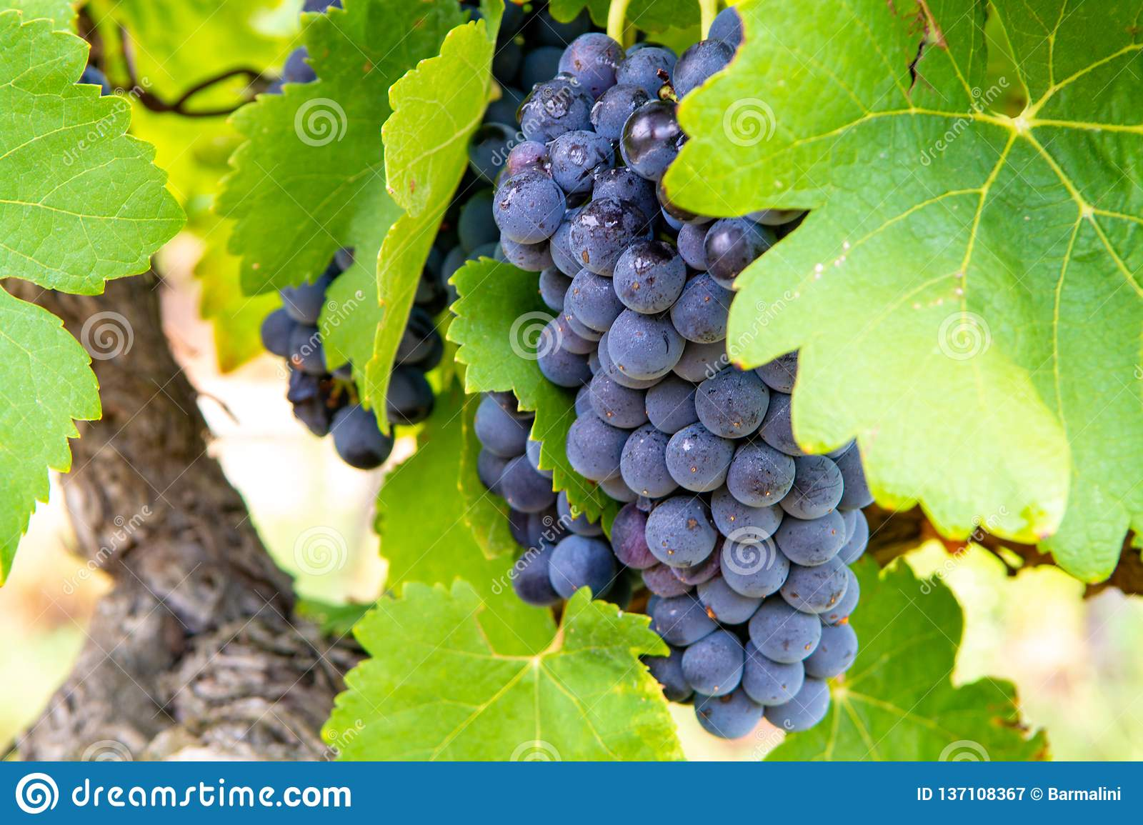 French red and rose wine grapes plant, first new harvest of wine grape in France, Costieres de Nimes AOP domain or chateau