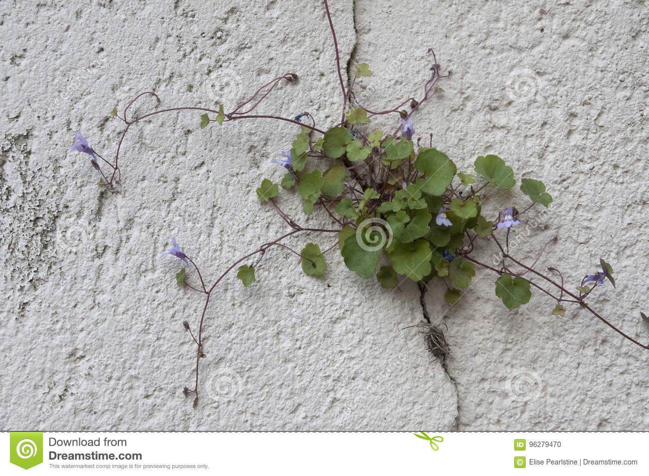 French Stone Wall In Provence With Vining Purple Tubular Flower