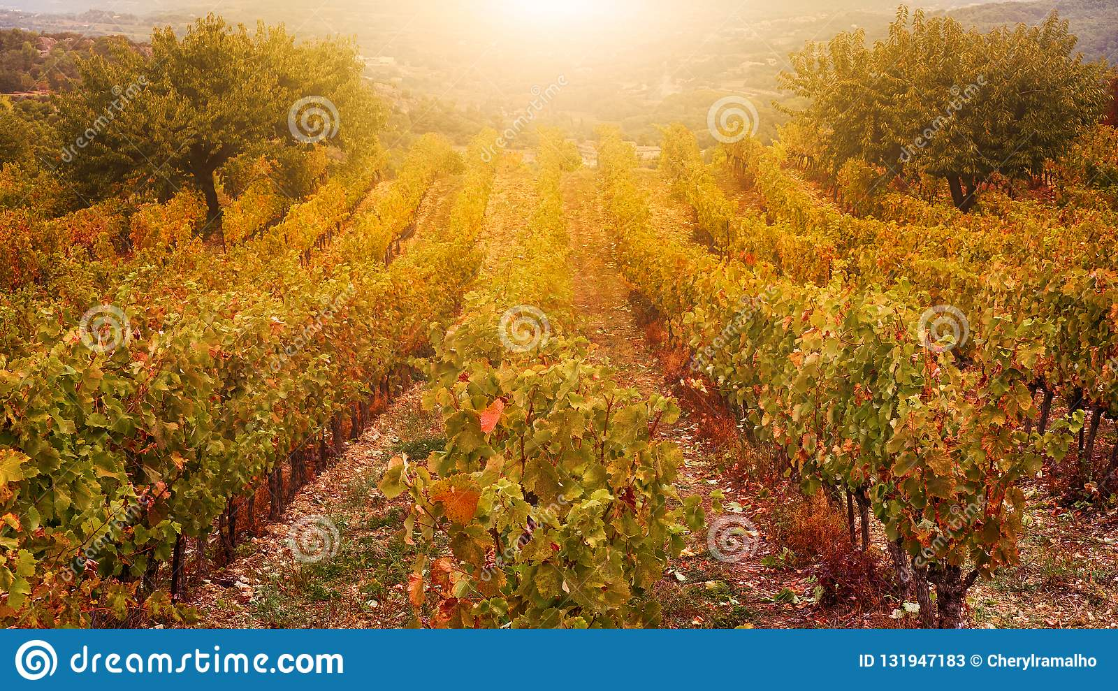 A French vineyard in golden autumn light.