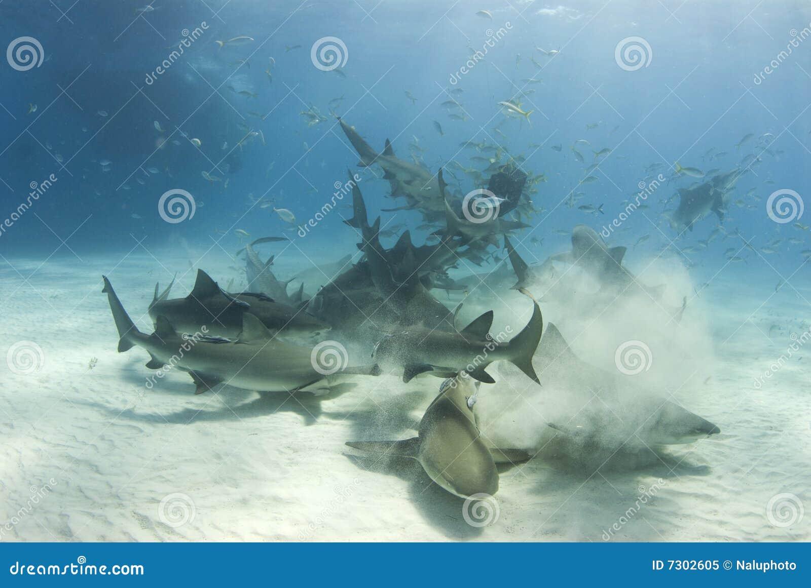 Frenesí del tiburón