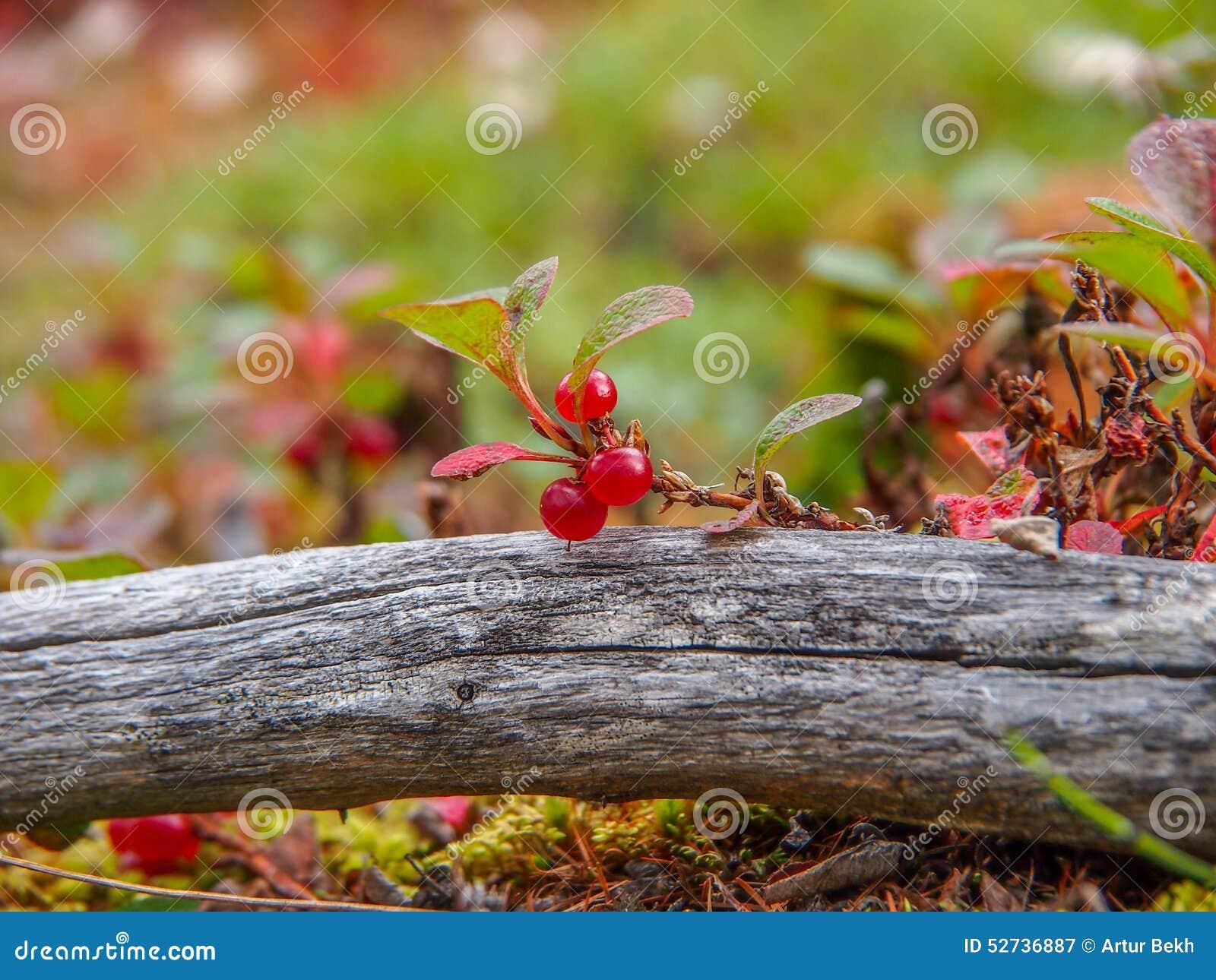 Fresa endémica y rara