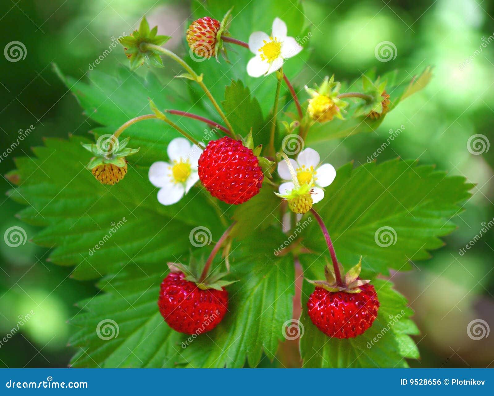 Fresa salvaje con las bayas y las flores