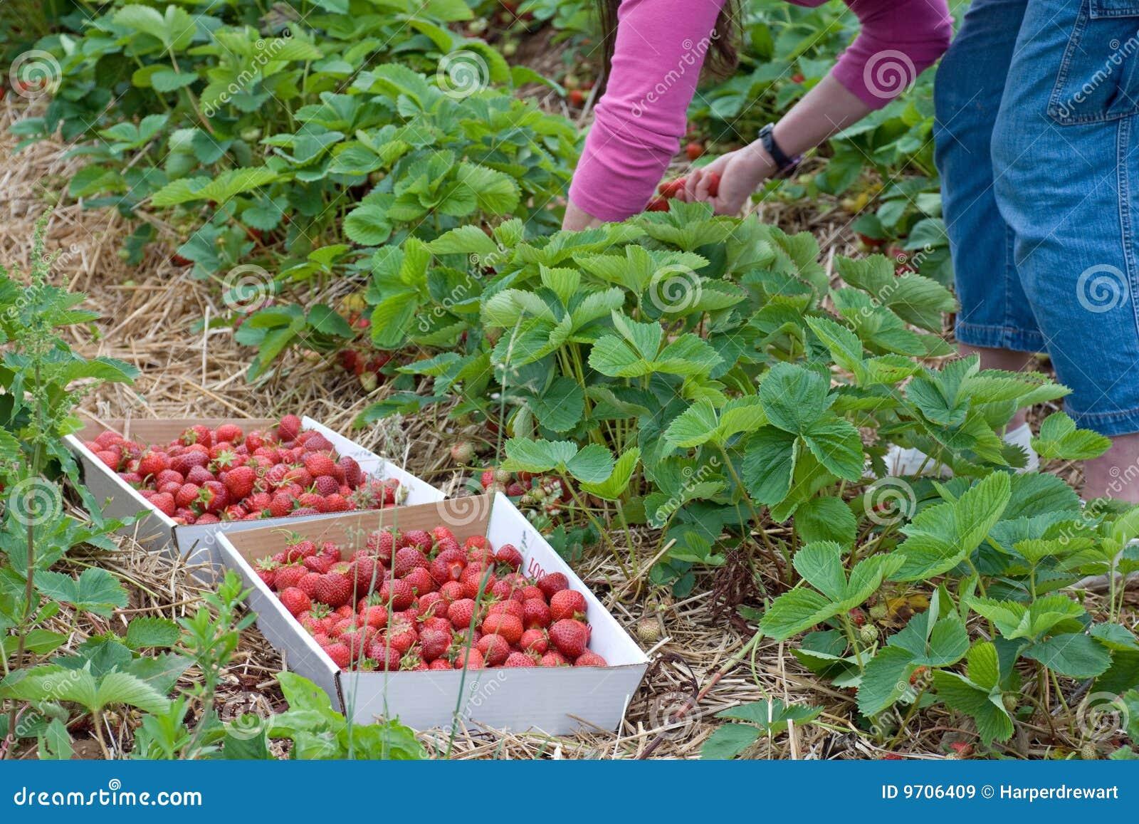 cosecha de la fresa