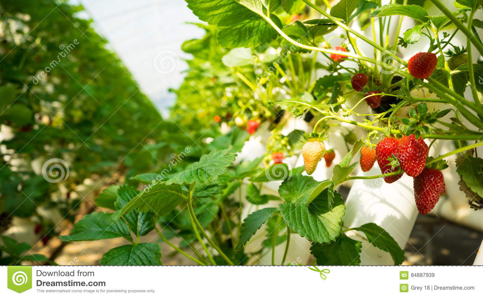 Fresas en una granja de la fresa