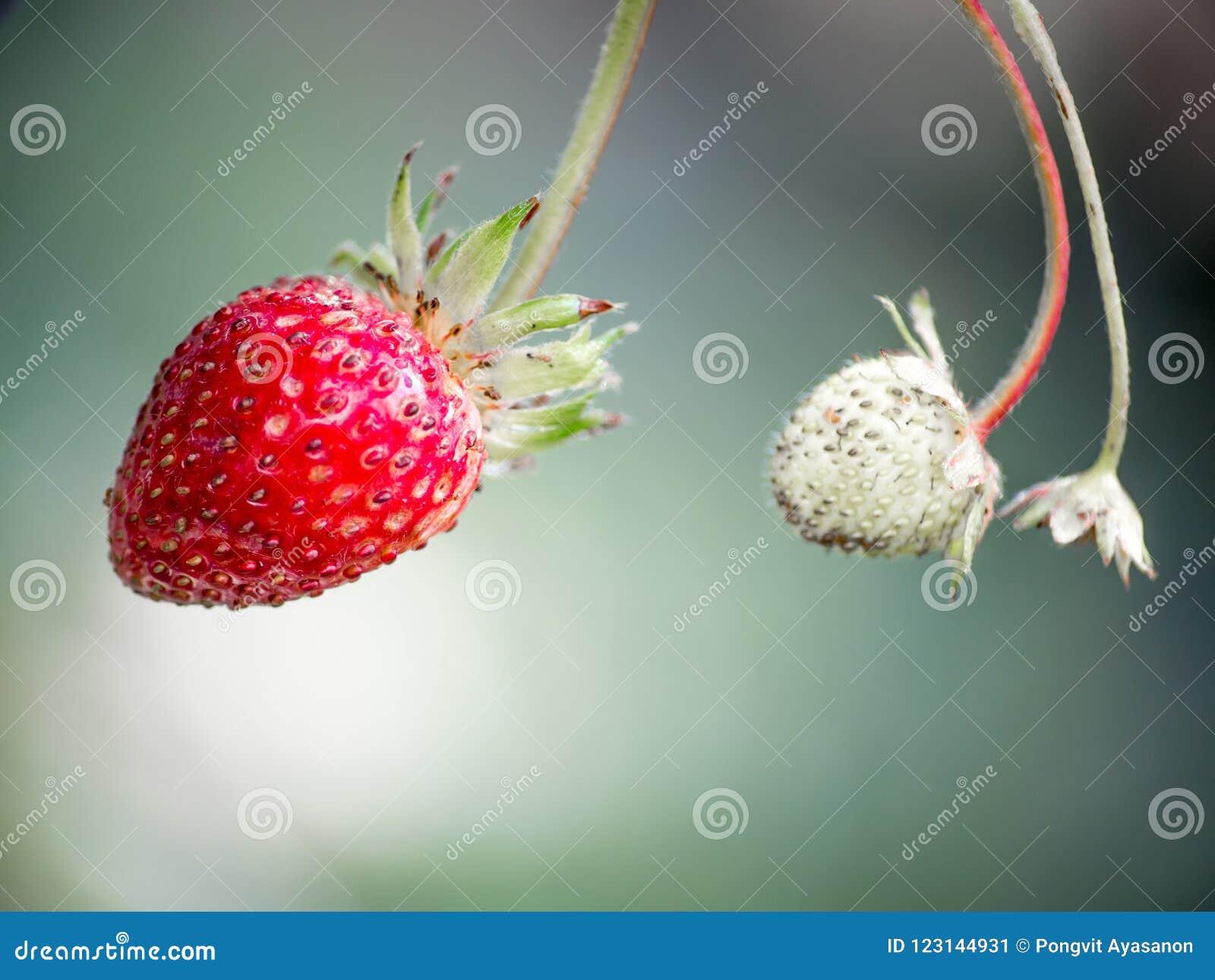 Fresas rojas frescas Pequeña fresa salvaje del bosque