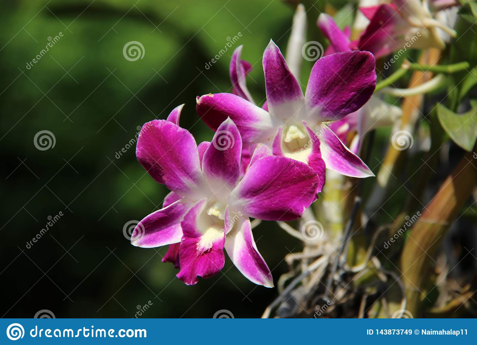 Fresco Orchidea bianca e porpora con il fondo delle sfuocature