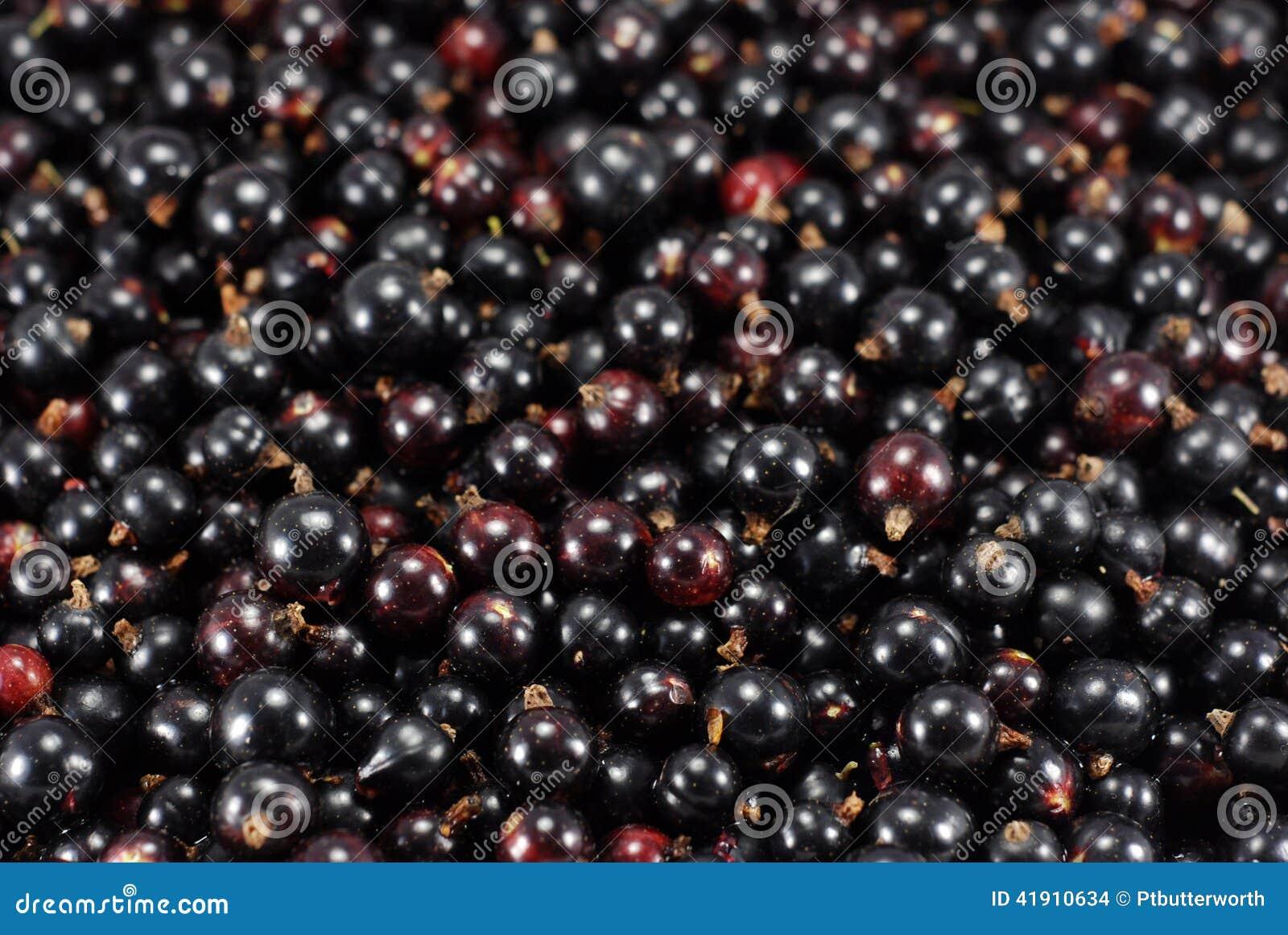 Fresco orgánico de las bayas de las grosellas negras escogido