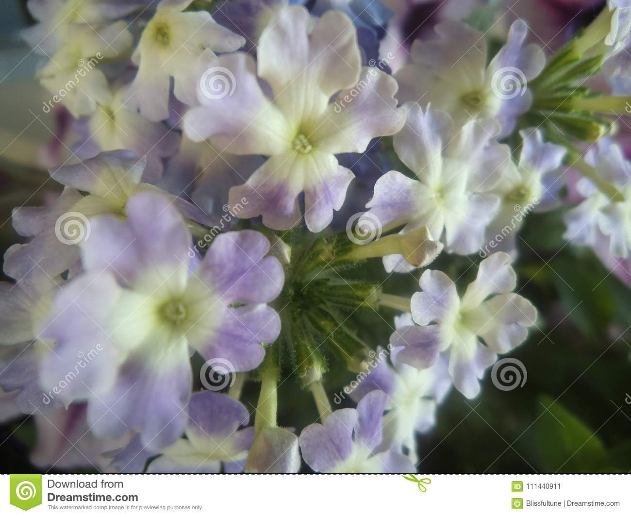 Fresh And Attractive Light Purple Flowers Close Up At The Florist