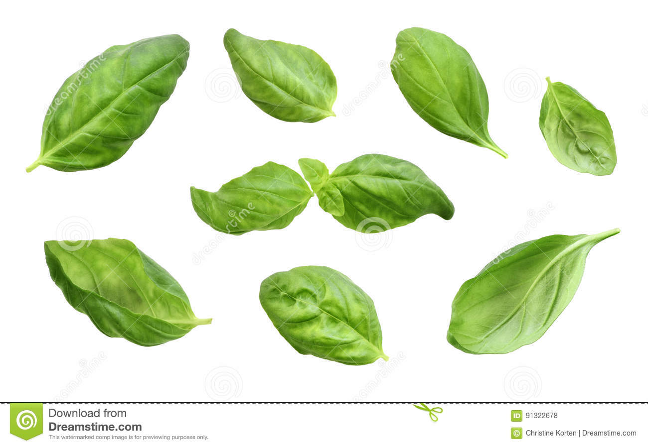 Fresh Basil Leaves Isolated On White Background Stock Photo